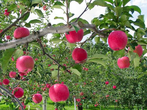 Apple picking tips + fun apple facts!