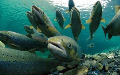 GMO salmon. Would you eat it?